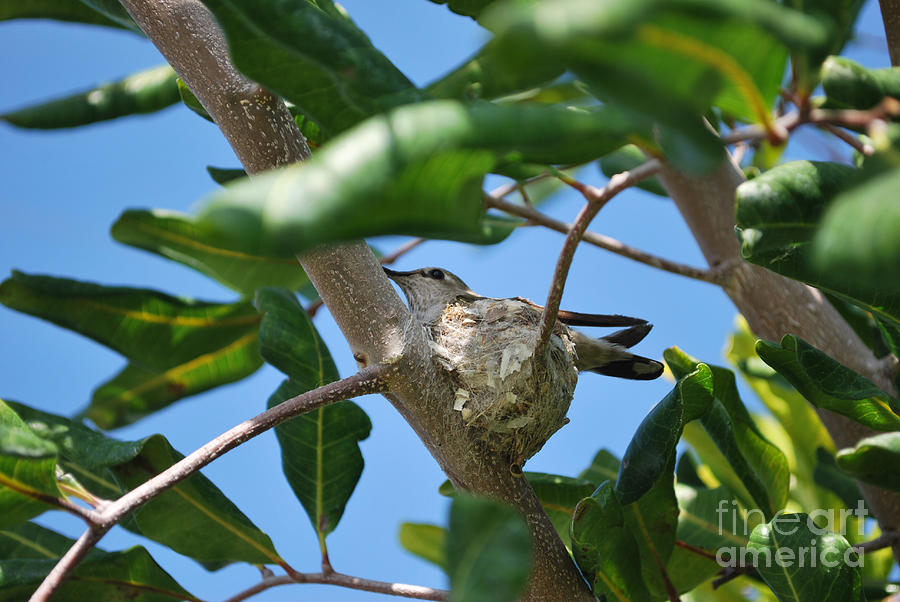 Humming Bird 2 Photograph  - Humming Bird 2 Fine Art Print