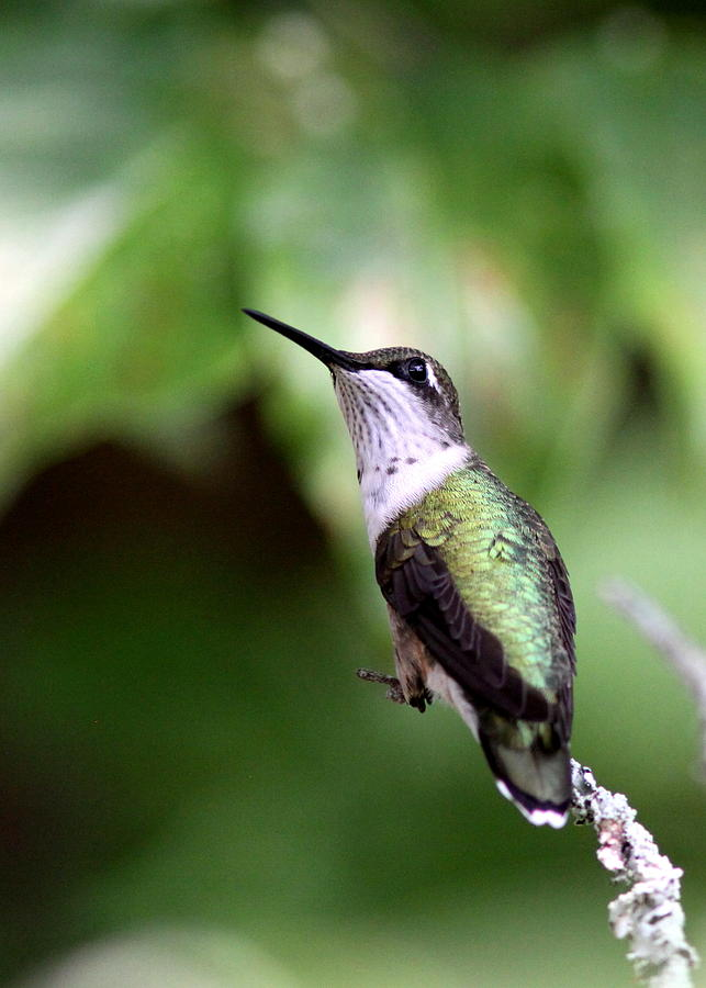 Hummingbird - Profile Of A Young Photograph  - Hummingbird - Profile Of A Young Fine Art Print