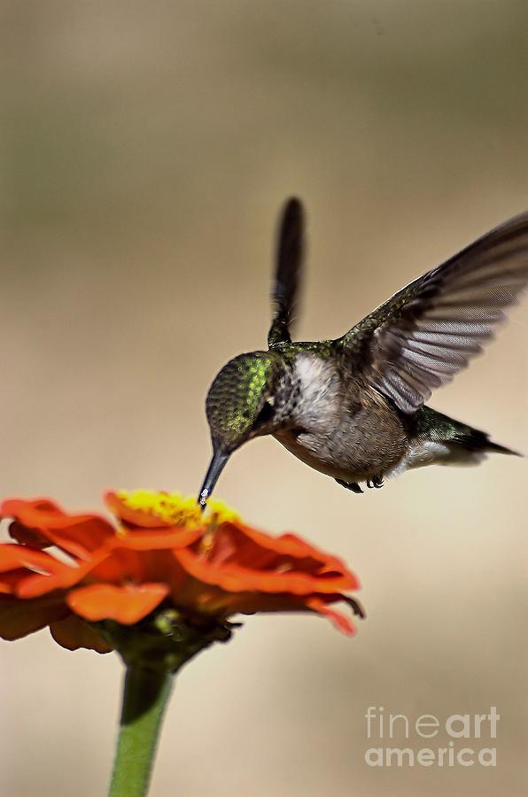 Hummingbird And Zinnia 2 Photograph