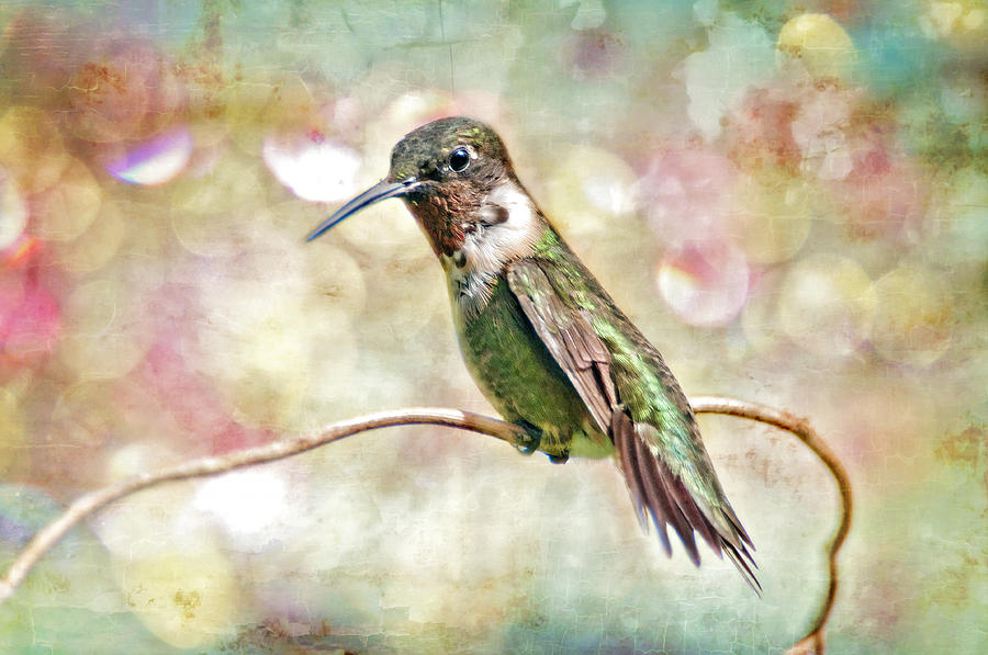 Hummingbird Art Photograph  - Hummingbird Art Fine Art Print