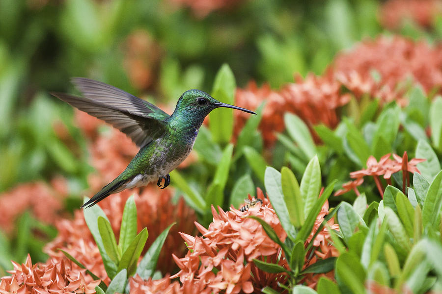 Hummingbird Flying Over Red Flowers Photograph