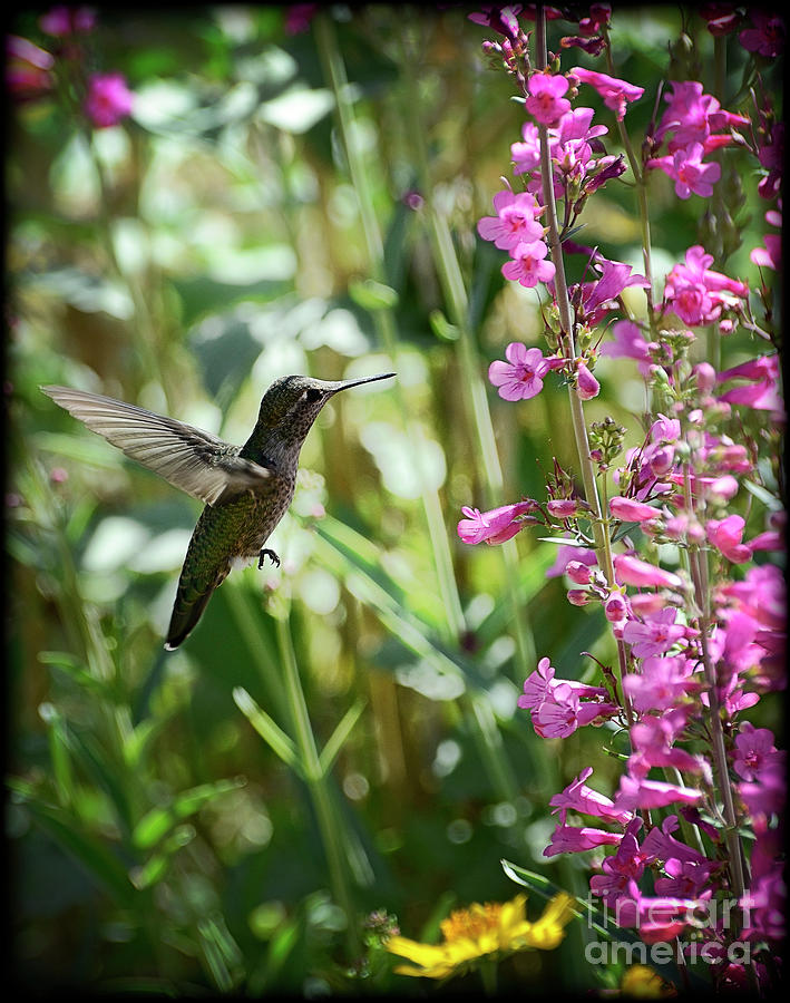 Hummingbird On Perrys Penstemon Photograph  - Hummingbird On Perrys Penstemon Fine Art Print