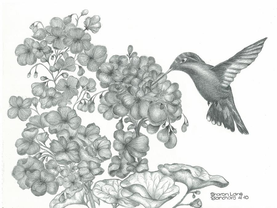 Hummingbird  Drawing  - Hummingbird  Fine Art Print