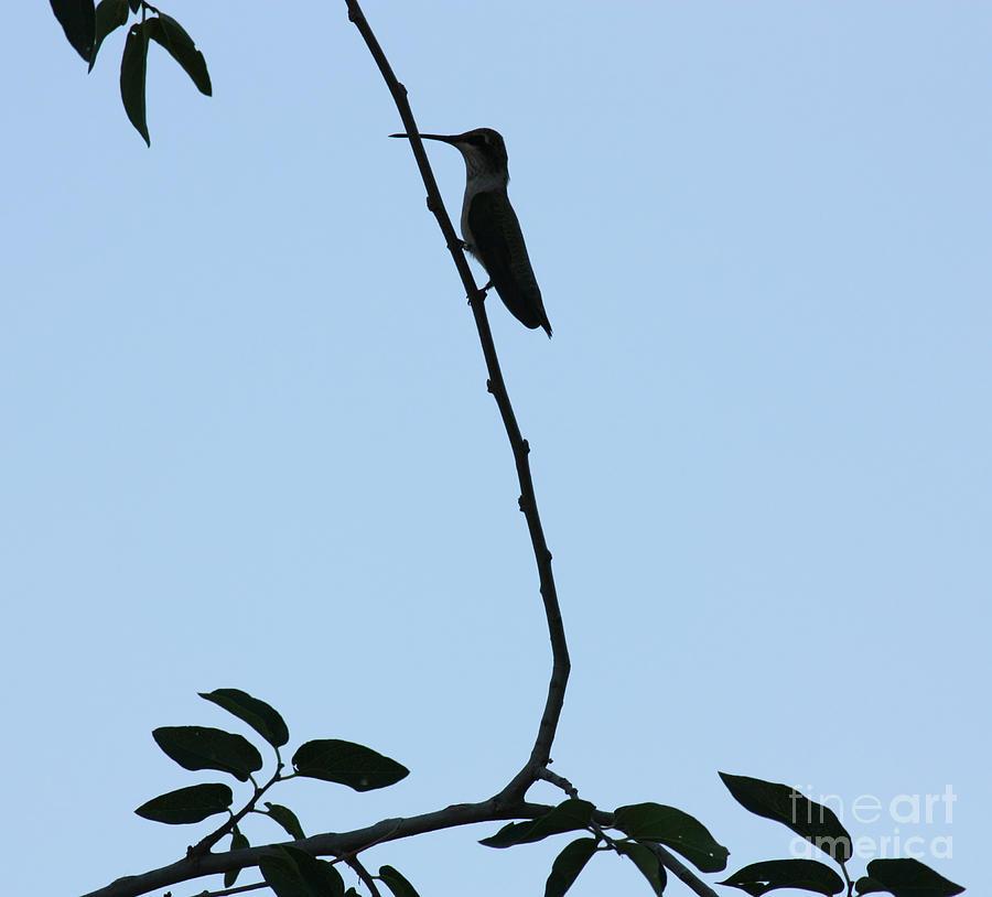Hummingbird Silhouette Photograph
