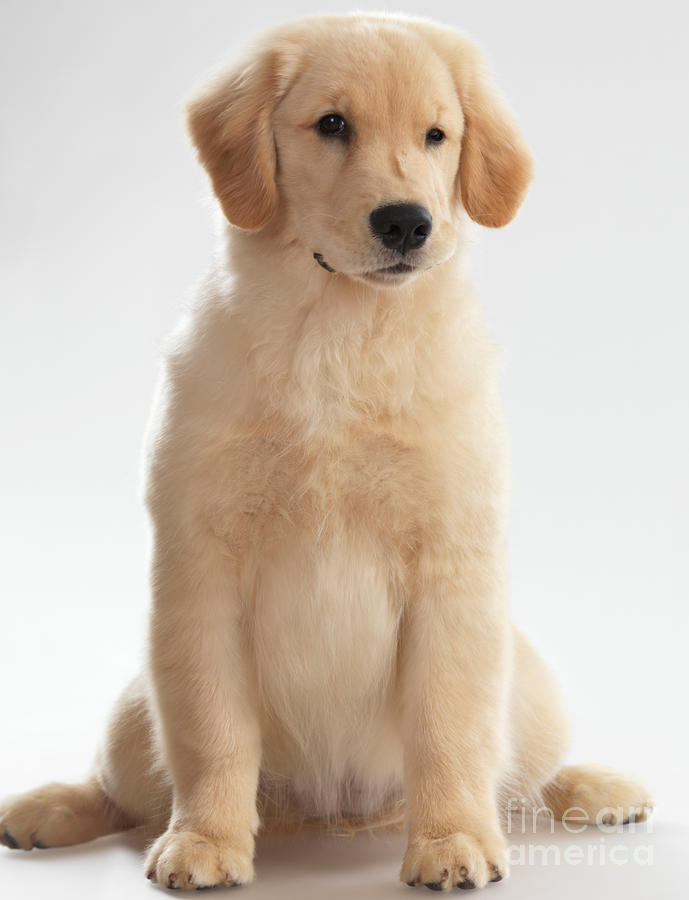 Humorous Photo Of Golden Retriever Puppy Photograph
