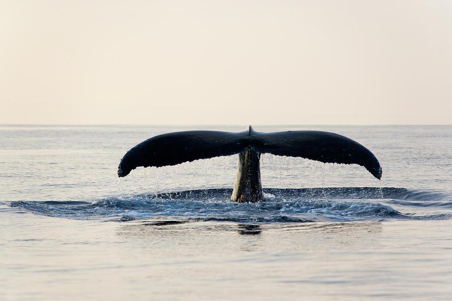 Humpback Whale Fluke Photograph