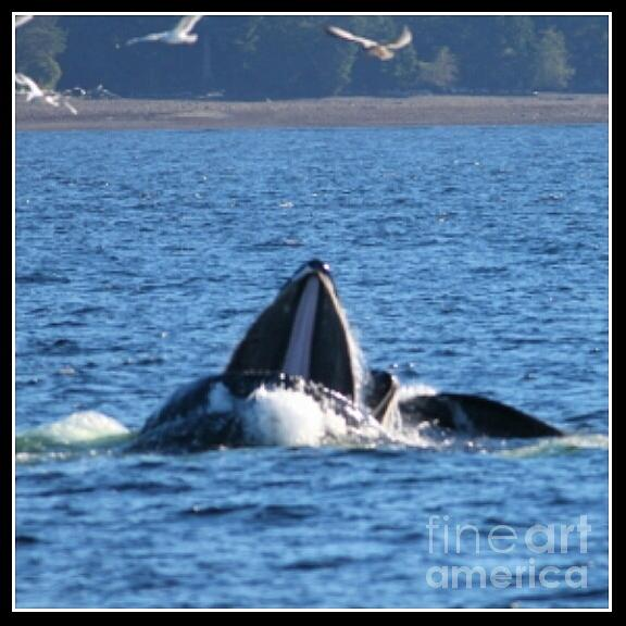 Whale Photograph - Humpback Whale by Pamela Walrath