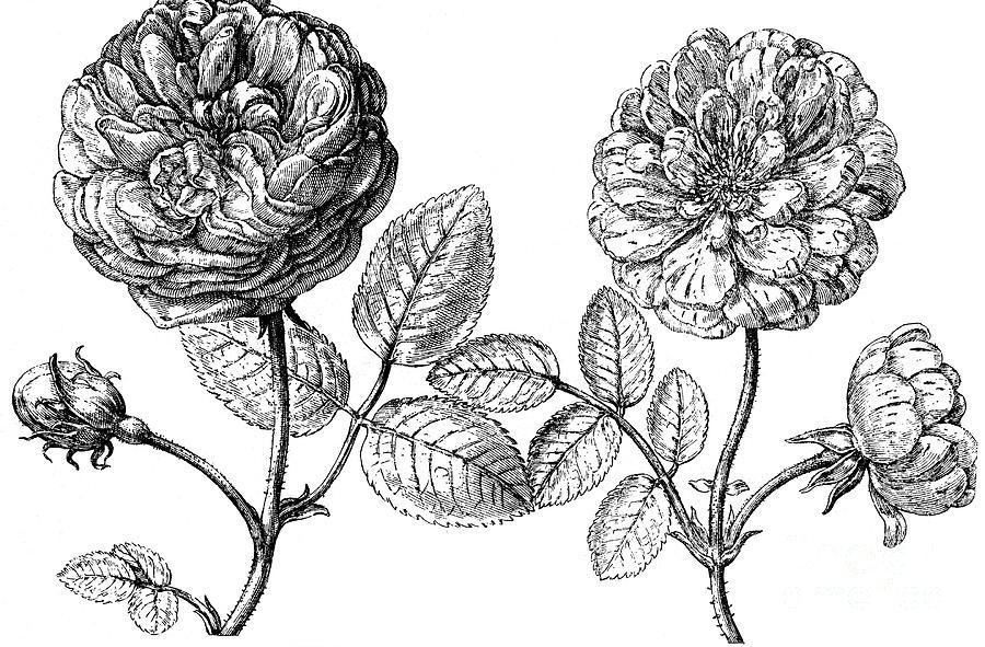 Hundred-leafed Rose Photograph