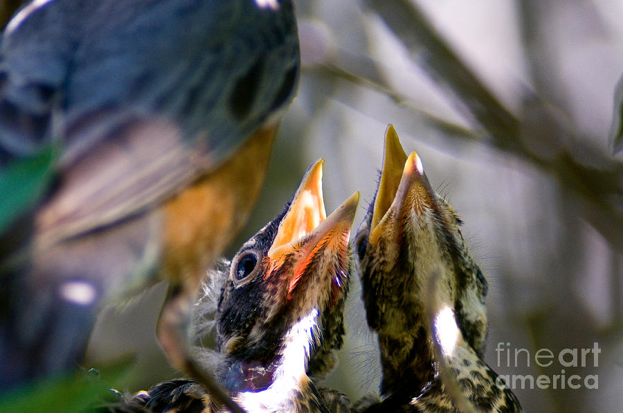 Hungry Baby Robins Photograph  - Hungry Baby Robins Fine Art Print