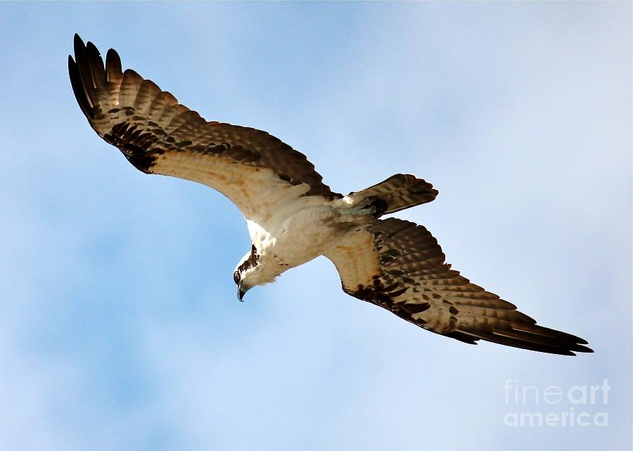 Hunter Osprey Photograph  - Hunter Osprey Fine Art Print