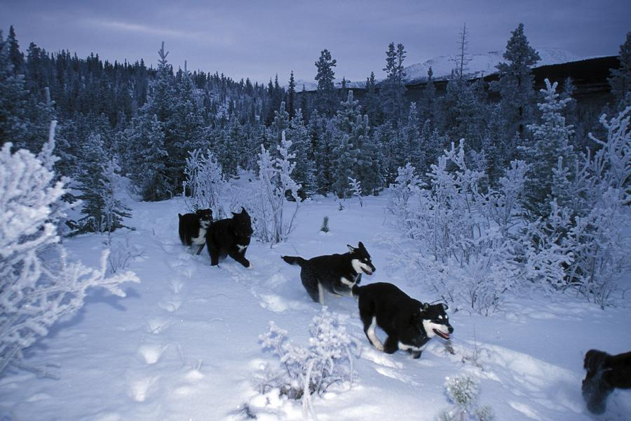 Huskie Pups Out For A Run In The Snow Photograph