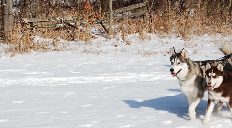 Huskies In Heaven Photograph