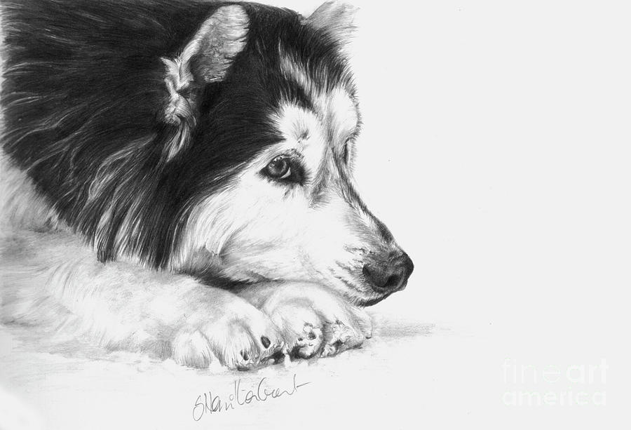 Husky Contemplation Drawing  - Husky Contemplation Fine Art Print