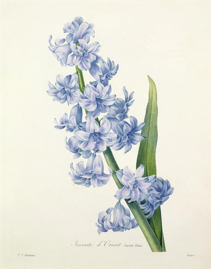 Hyacinth Drawing  - Hyacinth Fine Art Print