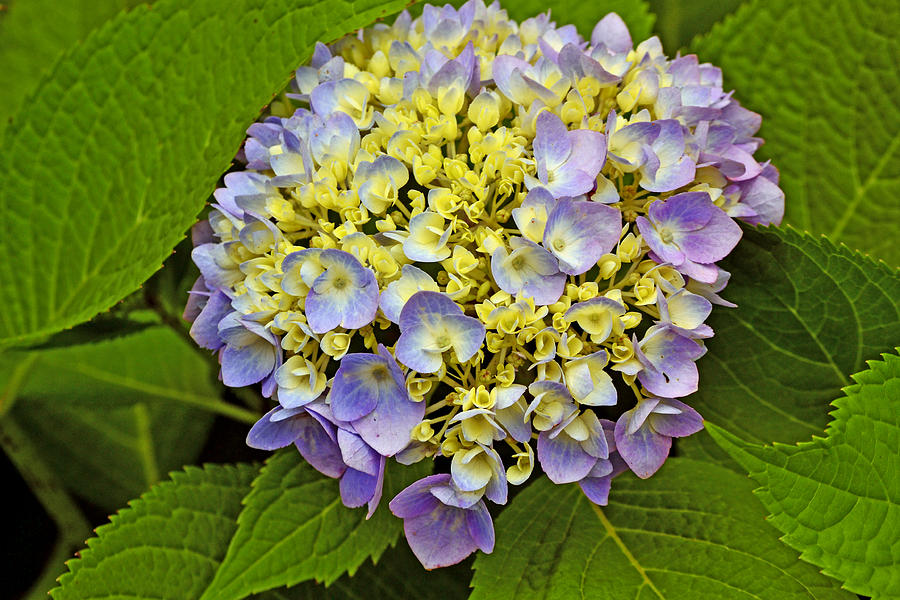 Flora Photograph - Hydrangea In Frame by Larry Bishop
