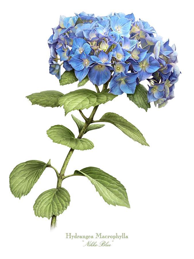 hydrangea-nikko-blue-marilynn-flynn.jpg