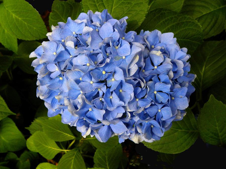 Hydrangea Photograph - Hydrangea by Sandi OReilly
