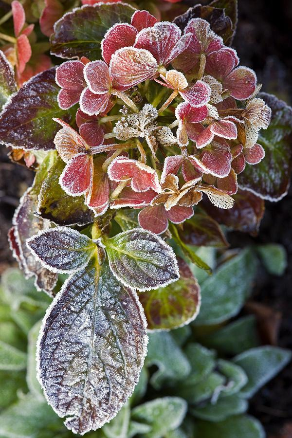 Pink Photograph - Hydrangea Sp by Dr Keith Wheeler