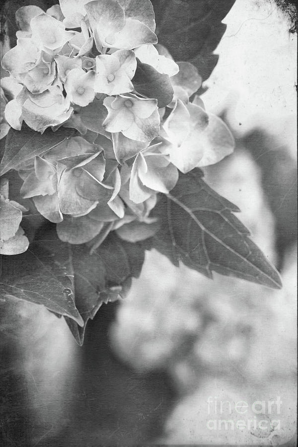 Hydrangeas In Black And White Photograph  - Hydrangeas In Black And White Fine Art Print