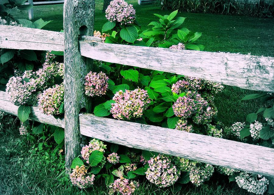 Hydrangeas Photograph