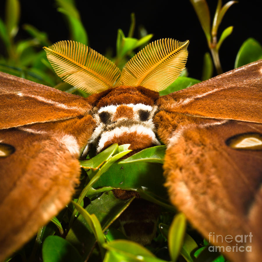 I See You - False Eye Spots Of A Hercules Moth Photograph  - I See You - False Eye Spots Of A Hercules Moth Fine Art Print