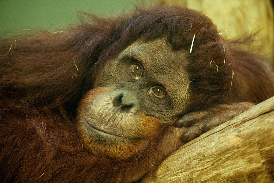 Orangutan Photograph - I See You by Lindy Spencer