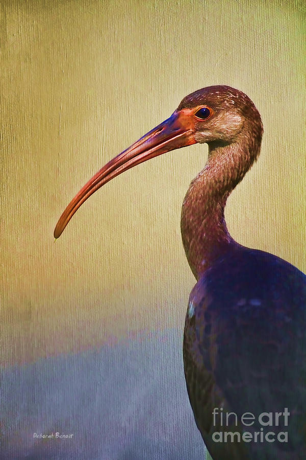 Ibis Nature Pose Photograph  - Ibis Nature Pose Fine Art Print