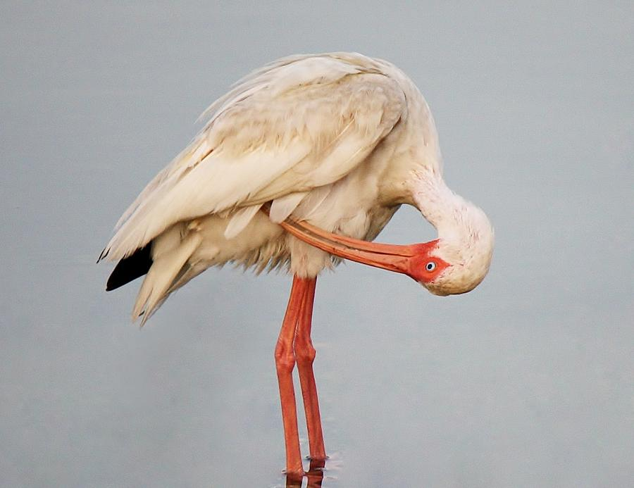 Ibis Photograph - Ibis Preening by Paulette Thomas