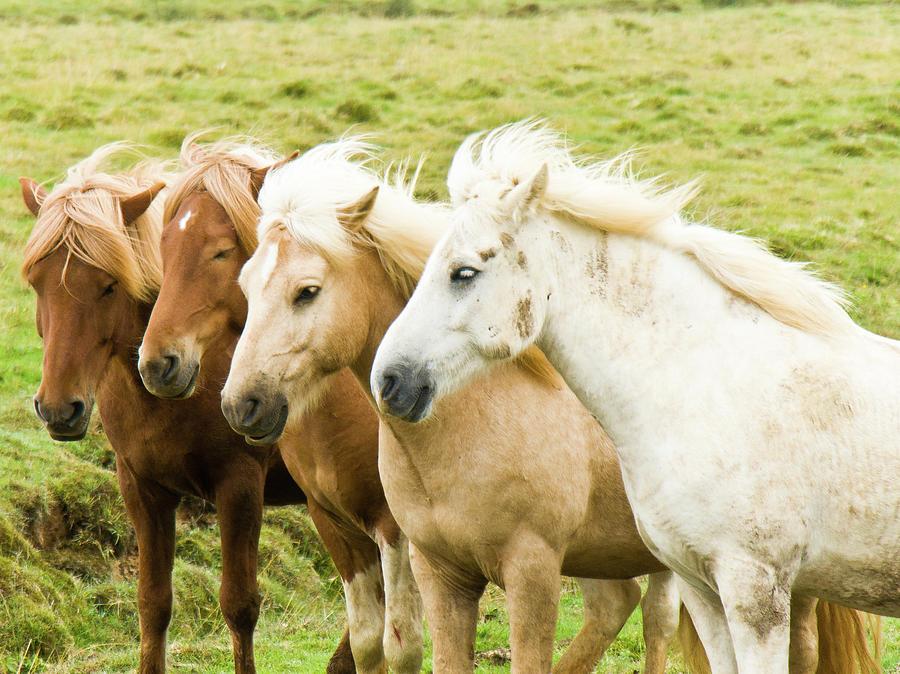 Horizontal Photograph - Iceland Ponies by David Blaikie