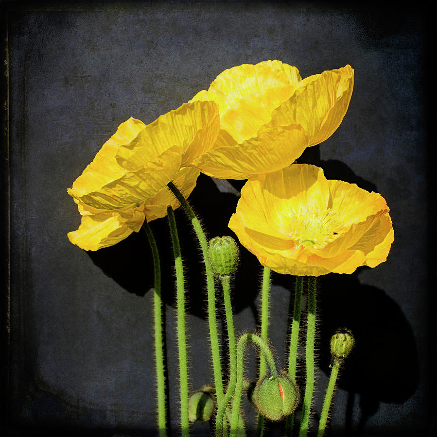 Square Photograph - Iceland Yellow Poppies by Paul Grand Image