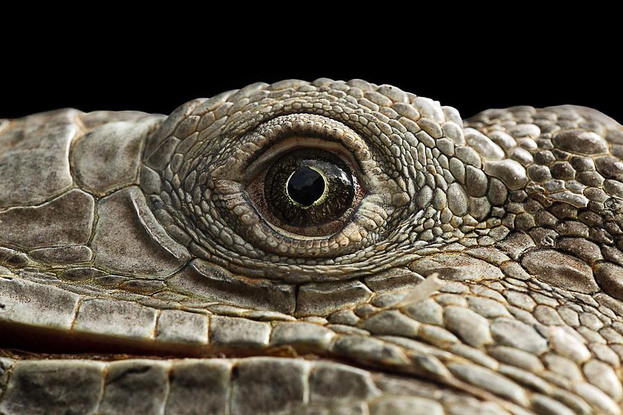 iguana eye painting - photo #19