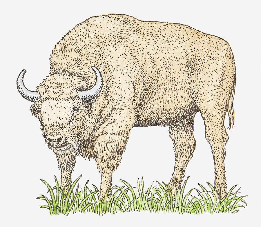Horizontal Digital Art - Illustration Of A Bison by Dorling Kindersley