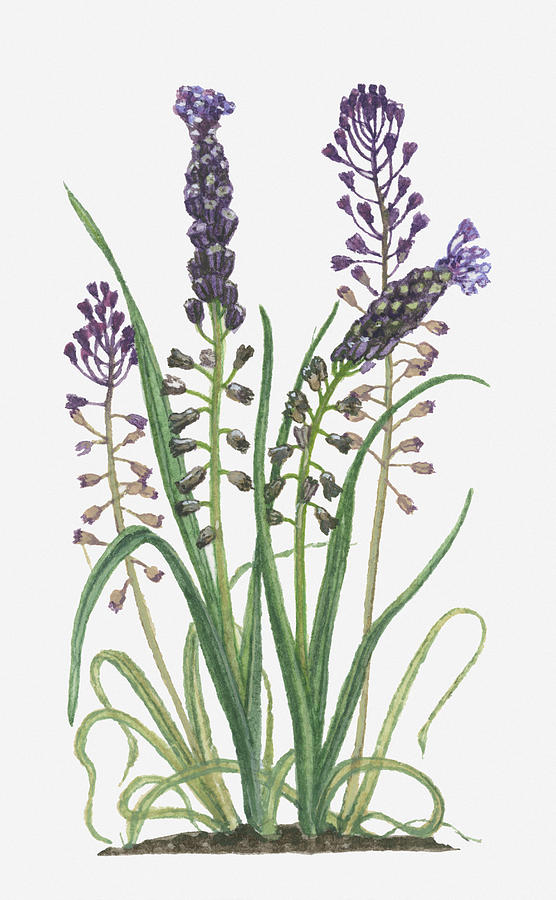 Illustration Of Leopoldia Comosa Syn Muscari Comosum (tassel Hyacinth) Bearing Violet-blue Flowers And Buds On Tall Stems And Long Green Leaves Digital Art  - Illustration Of Leopoldia Comosa Syn Muscari Comosum (tassel Hyacinth) Bearing Violet-blue Flowers And Buds On Tall Stems And Long Green Leaves Fine Art Print