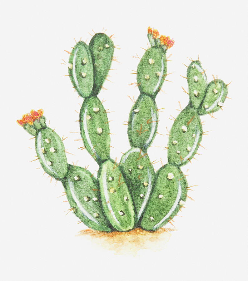 illustration of opuntia sp prickly pear cactus in bloom