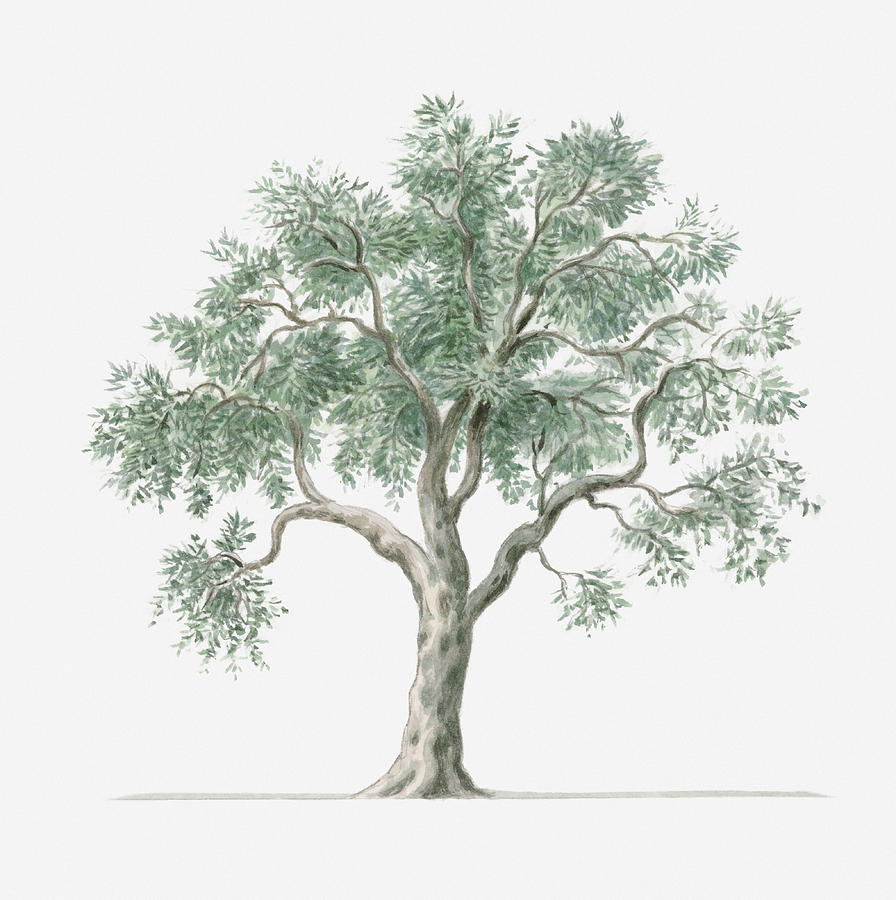 illustration showing shape of olea europea olive tree