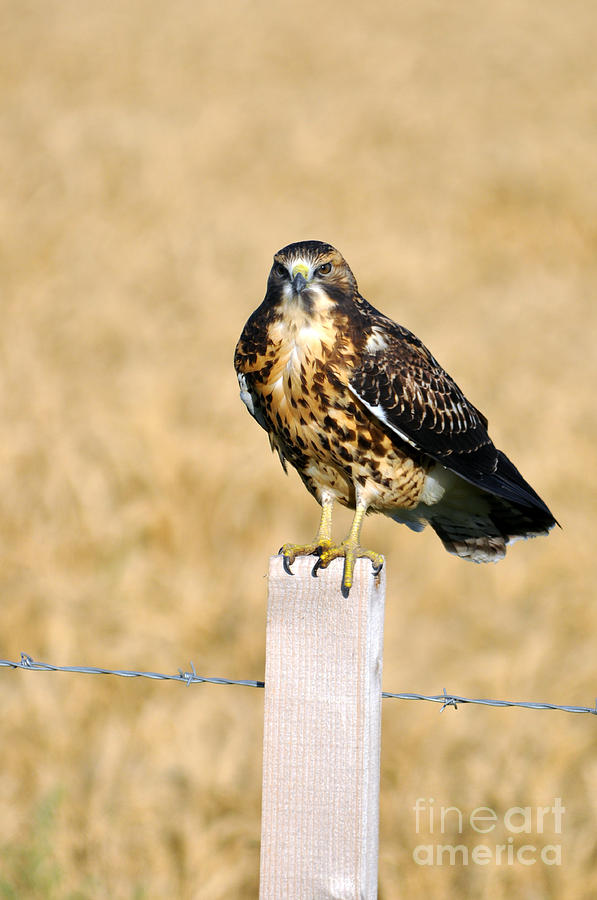 Swainson's Hawk Photograph - Immature Swainsons Hawk by Laura Mountainspring