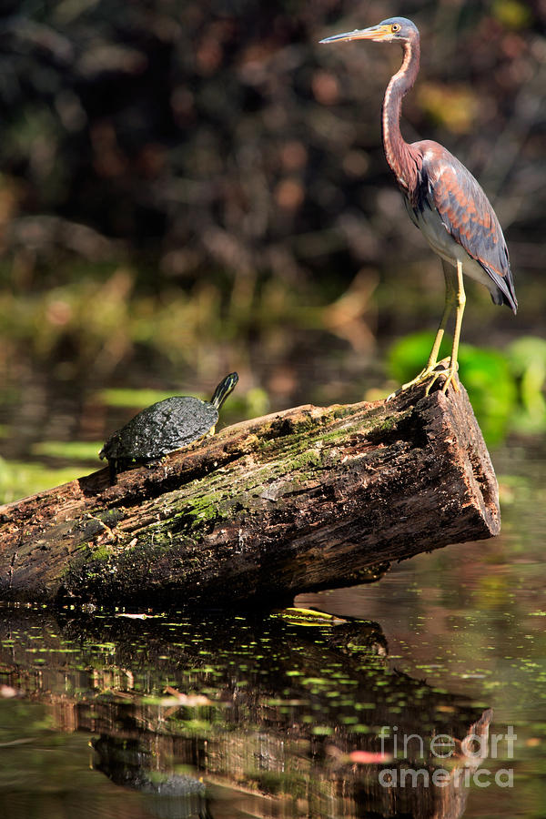 Immature Tri-colored Heron And Peninsula Cooter Turtle Photograph