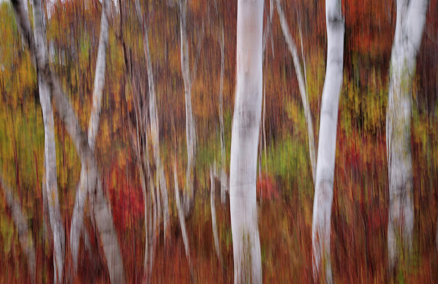 Impressions - Birch Forest Of Vermont In Autumn   Photograph