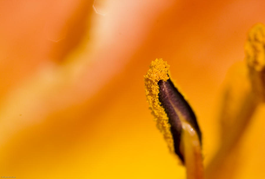 In A Daylily Photograph