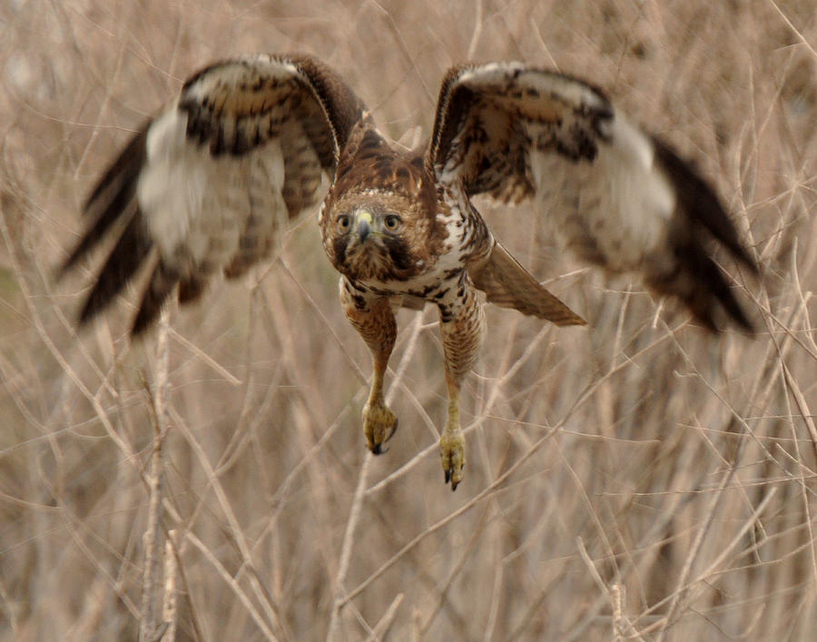 Inbound Red Tail Hawk Photograph