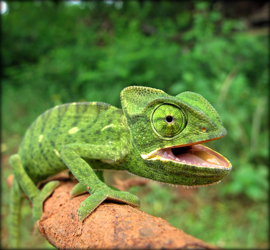 how to say chameleon in hindi