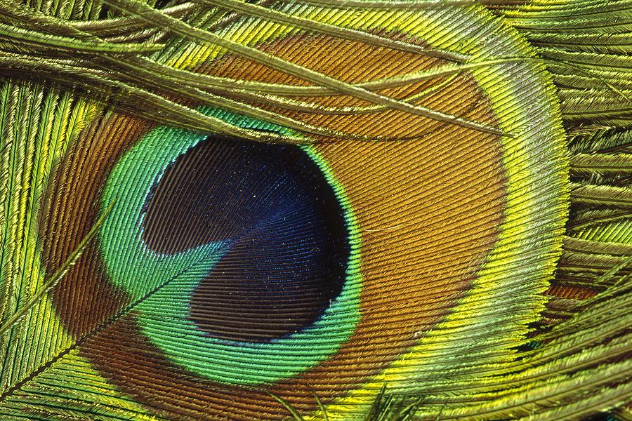 Indian Peafowl Pavo Cristatus Male Photograph