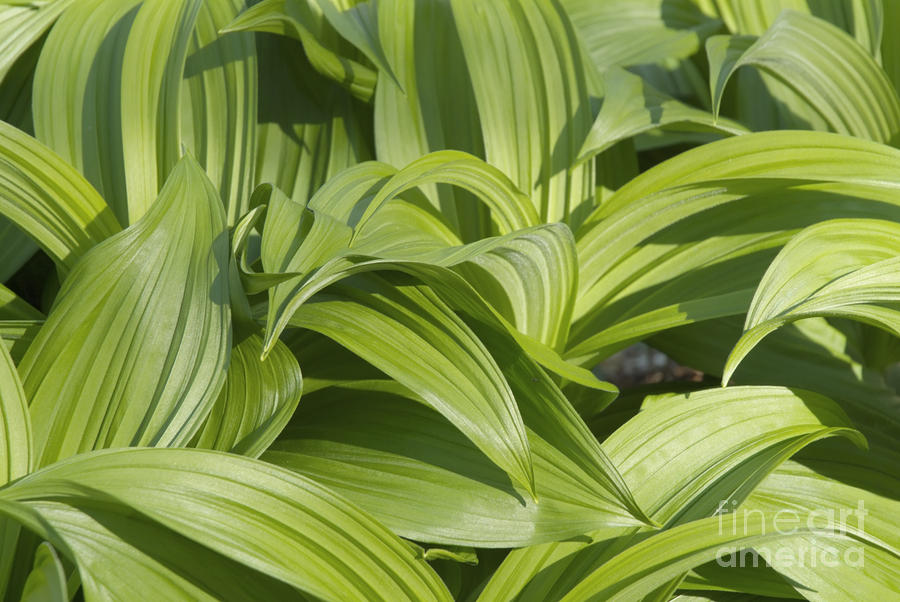 Indian Poke - Veratrum Veride-  Photograph  - Indian Poke - Veratrum Veride-  Fine Art Print