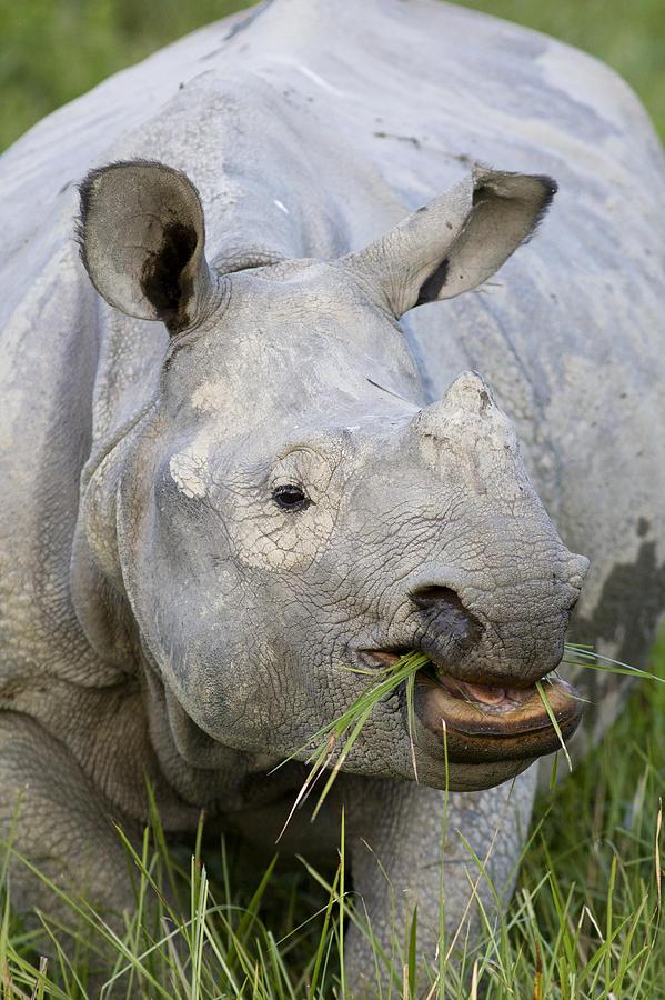 00451346 Photograph - Indian Rhinoceros Grazing Kaziranga by Suzi Eszterhas