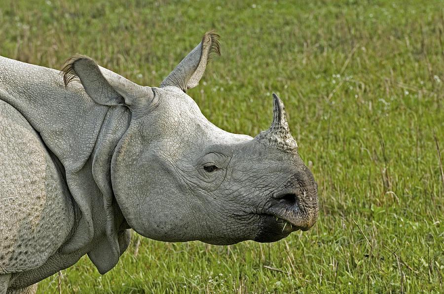 Rhinoceros Unicornis Photograph - Indian Rhinoceros by Tony Camacho