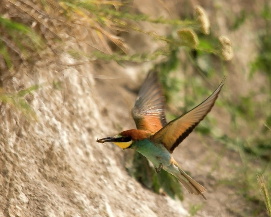 Inflight Feeding Bee Eater Photograph  - Inflight Feeding Bee Eater Fine Art Print