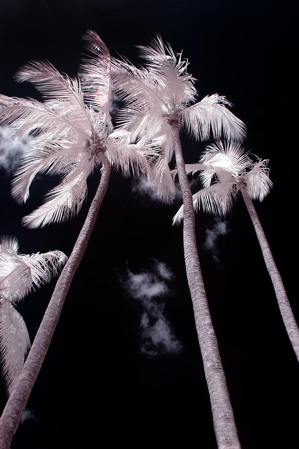 Infrared Palm Trees Photograph