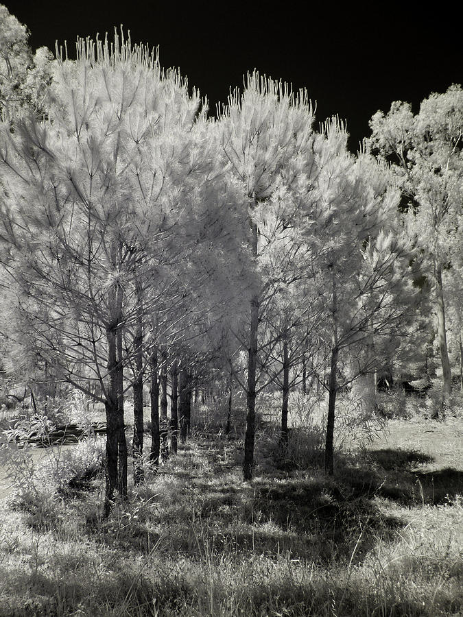 Converted Camera Photograph - Infrared Trees by Stavros Argyropoulos