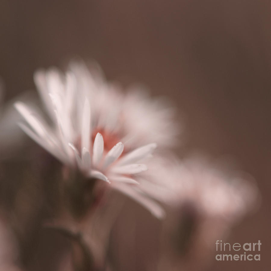 Daisy Photograph - Innocence - 05-01a by Variance Collections