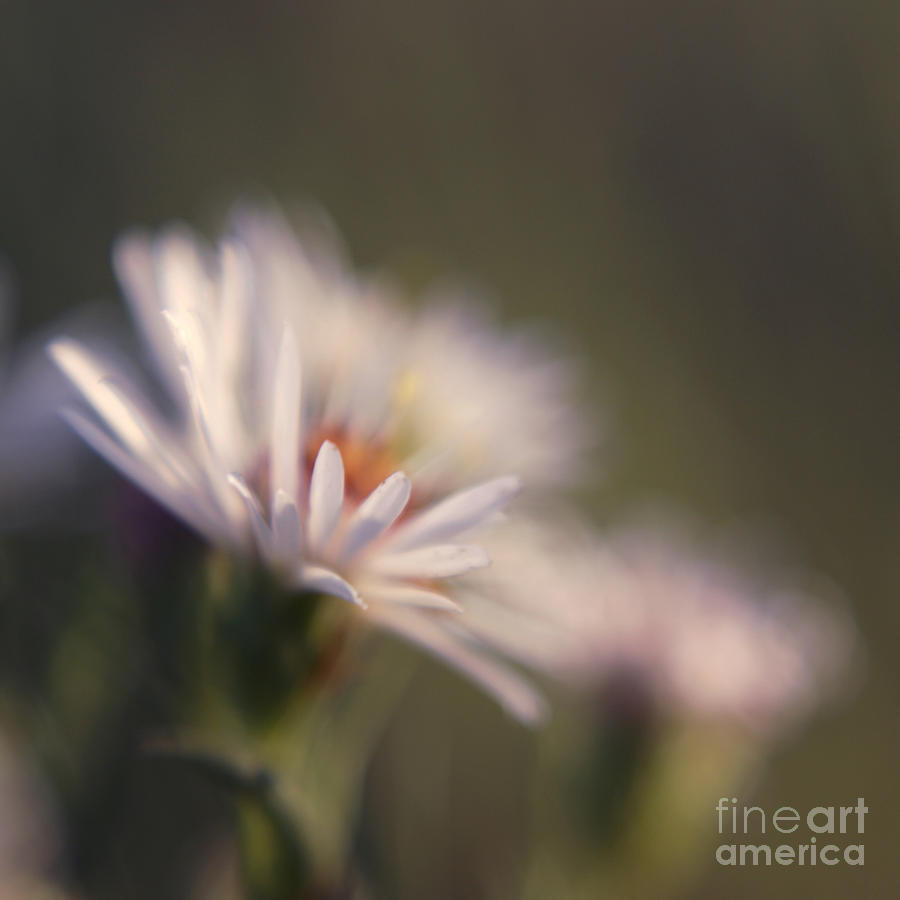 Flower Photograph - Innocence 02 by Variance Collections